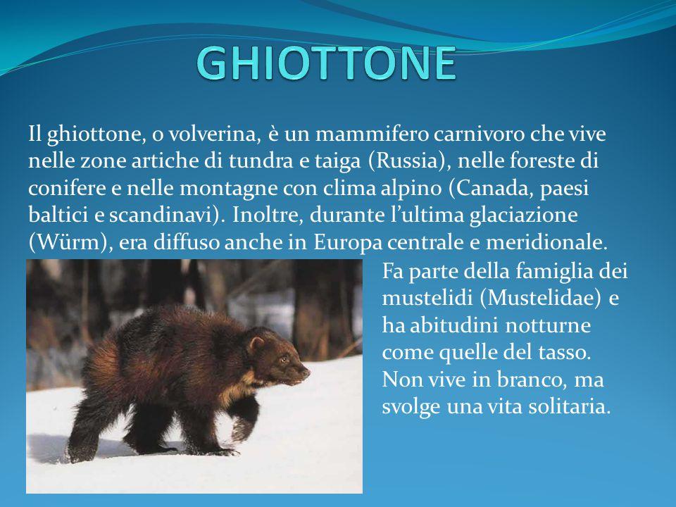 Il ghiottone, o volverina, è un mammifero carnivoro che vive nelle zone artiche di tundra e taiga (Russia), nelle foreste di conifere e nelle montagne con clima alpino (Canada, paesi baltici e scandinavi).