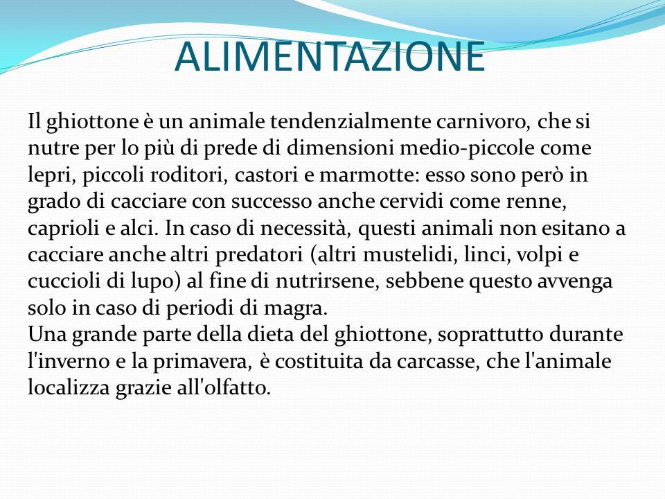 ALIMENTAZIONE Il ghiottone è un animale tendenzialmente carnivoro, che si nutre per lo più di prede di dimensioni medio-piccole come lepri, piccoli roditori, castori e marmotte: esso sono però in grado di cacciare con successo anche cervidi come renne, caprioli e alci.