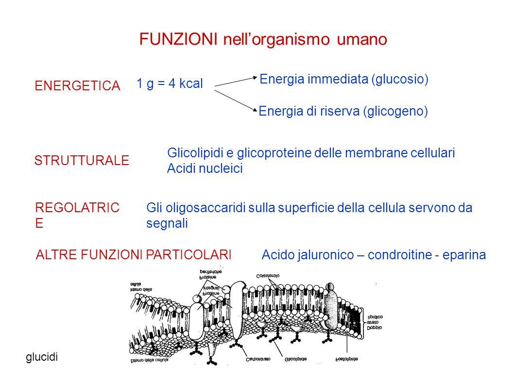 glucidivanna vannucchi3 FUNZIONI nell'organismo umano ENERGETICA Energia immediata (glucosio) STRUTTURALE REGOLATRIC E 1 g = 4 kcal Energia di riserva (glicogeno) Glicolipidi e glicoproteine delle membrane cellulari Acidi nucleici Gli oligosaccaridi sulla superficie della cellula servono da segnali ALTRE FUNZIONI PARTICOLARIAcido jaluronico – condroitine - eparina