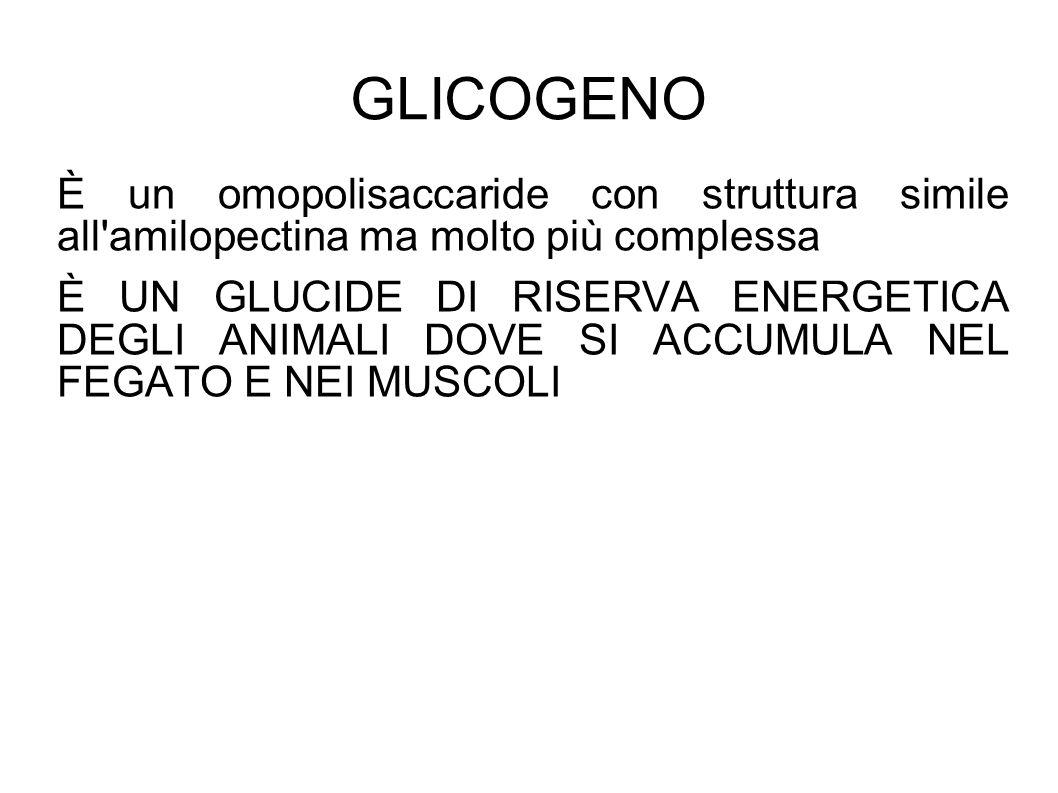 GLICOGENO È un omopolisaccaride con struttura simile all amilopectina ma molto più complessa È UN GLUCIDE DI RISERVA ENERGETICA DEGLI ANIMALI DOVE SI ACCUMULA NEL FEGATO E NEI MUSCOLI