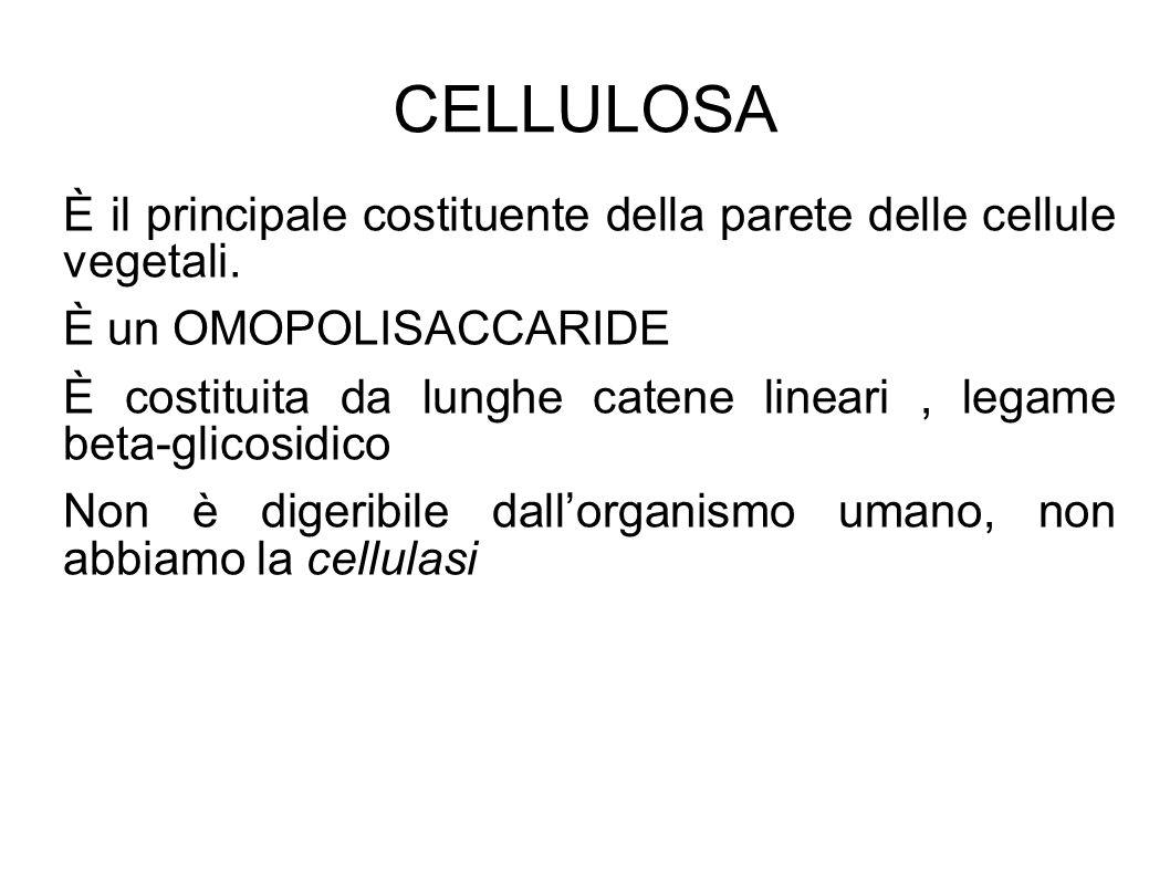 CELLULOSA È il principale costituente della parete delle cellule vegetali.