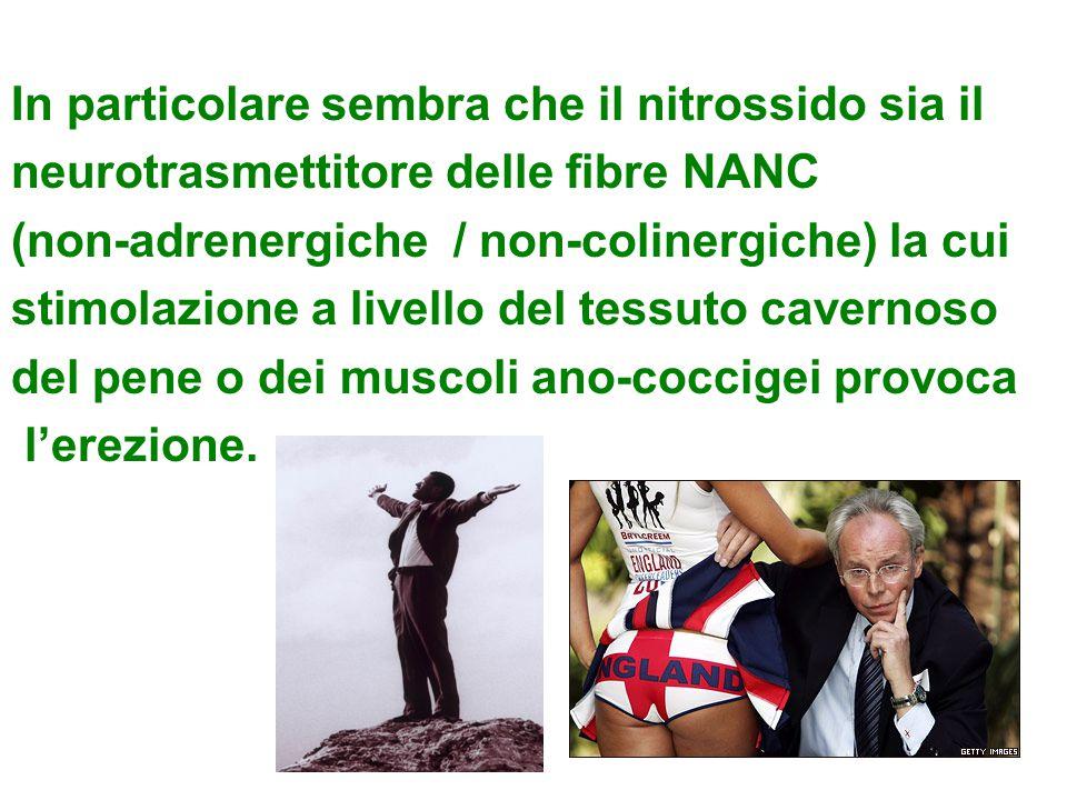 In particolare sembra che il nitrossido sia il neurotrasmettitore delle fibre NANC (non-adrenergiche / non-colinergiche) la cui stimolazione a livello del tessuto cavernoso del pene o dei muscoli ano-coccigei provoca l'erezione.