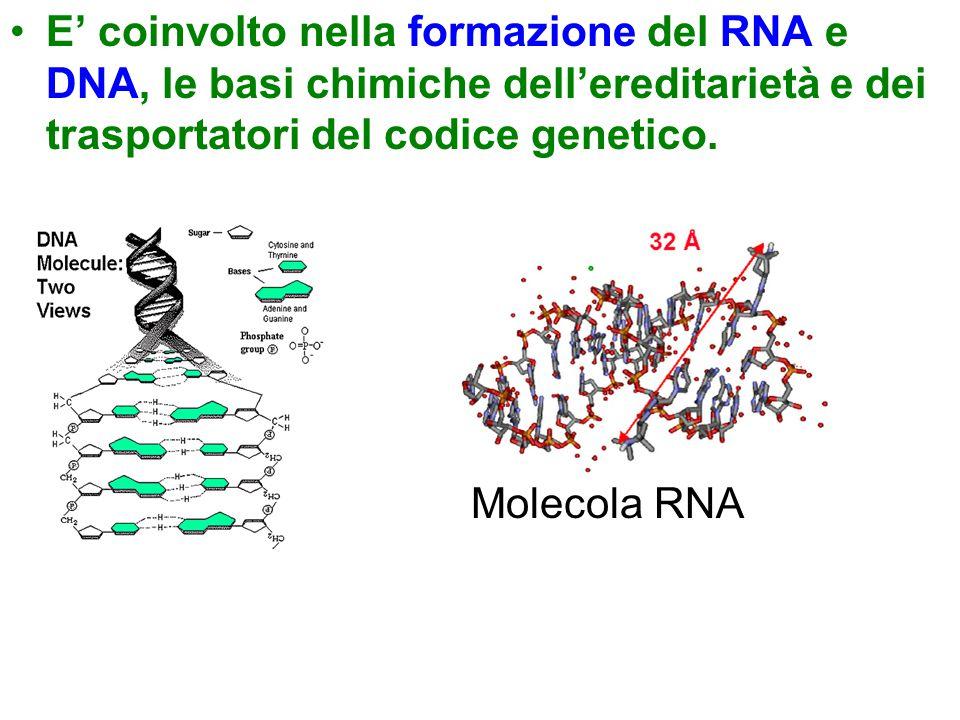 E' coinvolto nella formazione del RNA e DNA, le basi chimiche dell'ereditarietà e dei trasportatori del codice genetico. Molecola RNA