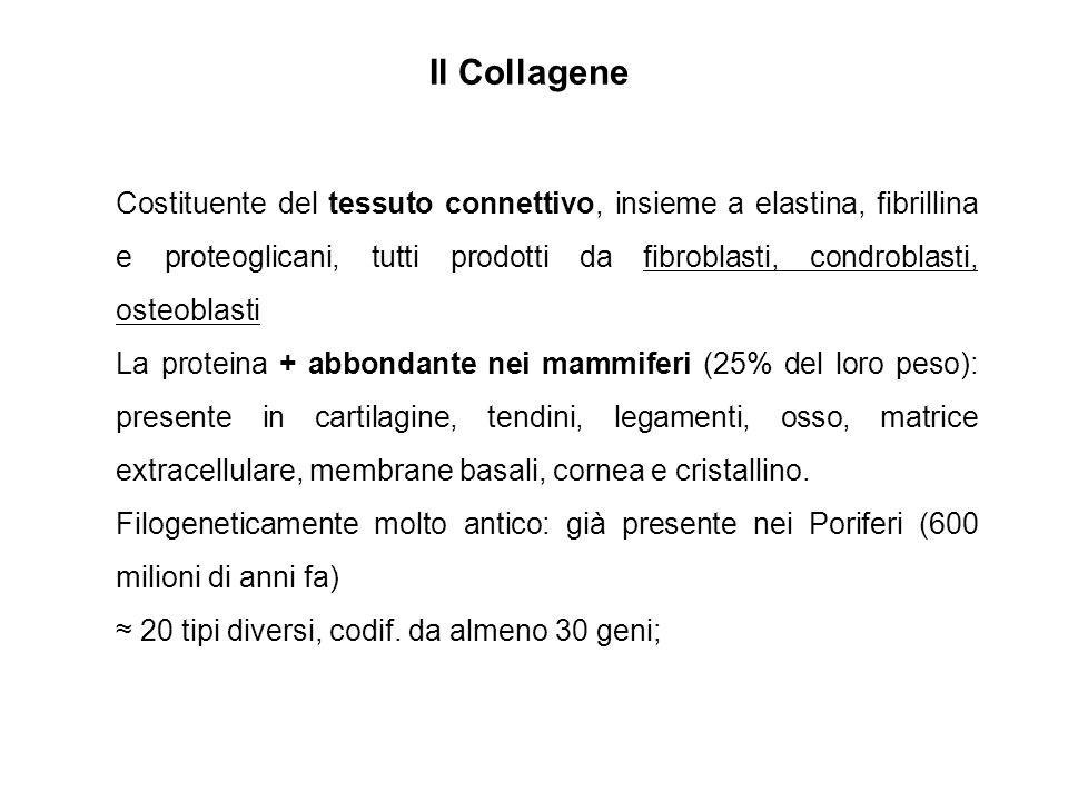 Il Collagene Costituente del tessuto connettivo, insieme a elastina, fibrillina e proteoglicani, tutti prodotti da fibroblasti, condroblasti, osteobla