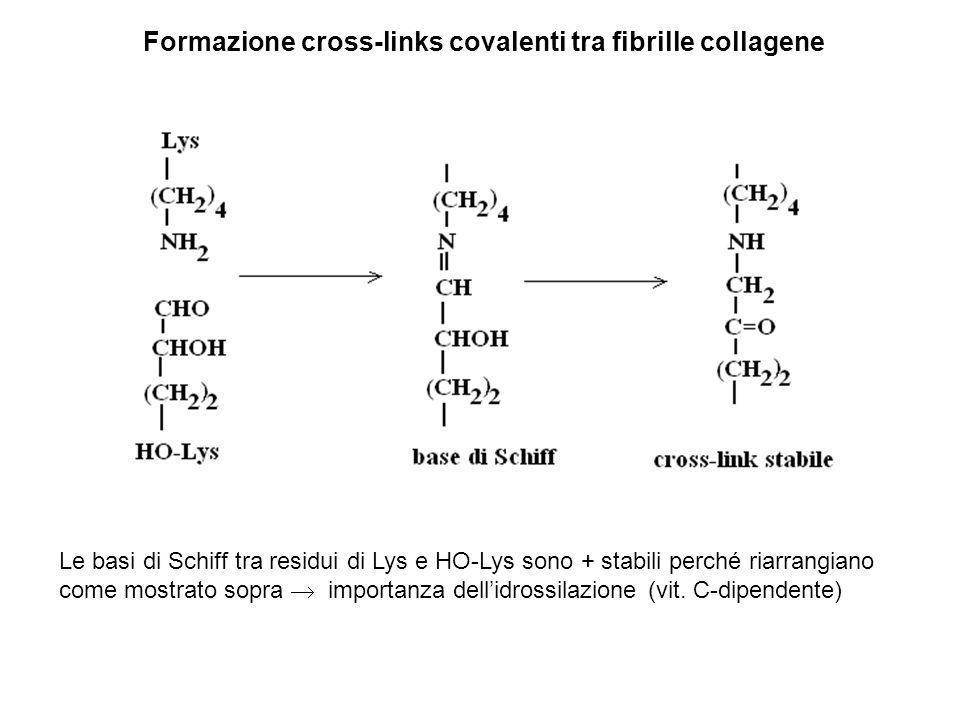 Formazione cross-links covalenti tra fibrille collagene Le basi di Schiff tra residui di Lys e HO-Lys sono + stabili perché riarrangiano come mostrato sopra  importanza dell'idrossilazione (vit.