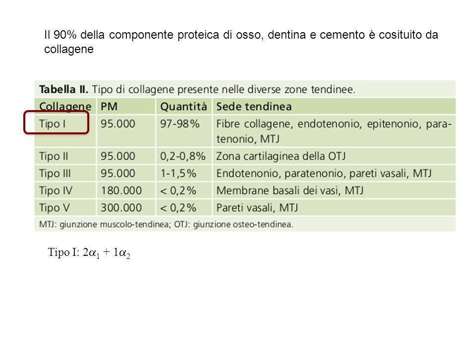 Il 90% della componente proteica di osso, dentina e cemento è cosituito da collagene Tipo I: 2  1 + 1  2