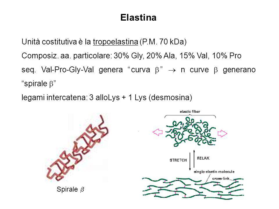Elastina Unità costitutiva è la tropoelastina (P.M. 70 kDa) Composiz. aa. particolare: 30% Gly, 20% Ala, 15% Val, 10% Pro seq. Val-Pro-Gly-Val genera