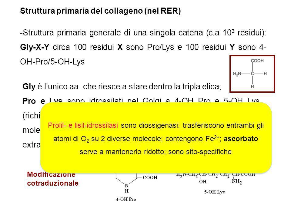 Struttura primaria del collageno (nel RER) -Struttura primaria generale di una singola catena (c.a 10 3 residui): Gly-X-Y circa 100 residui X sono Pro