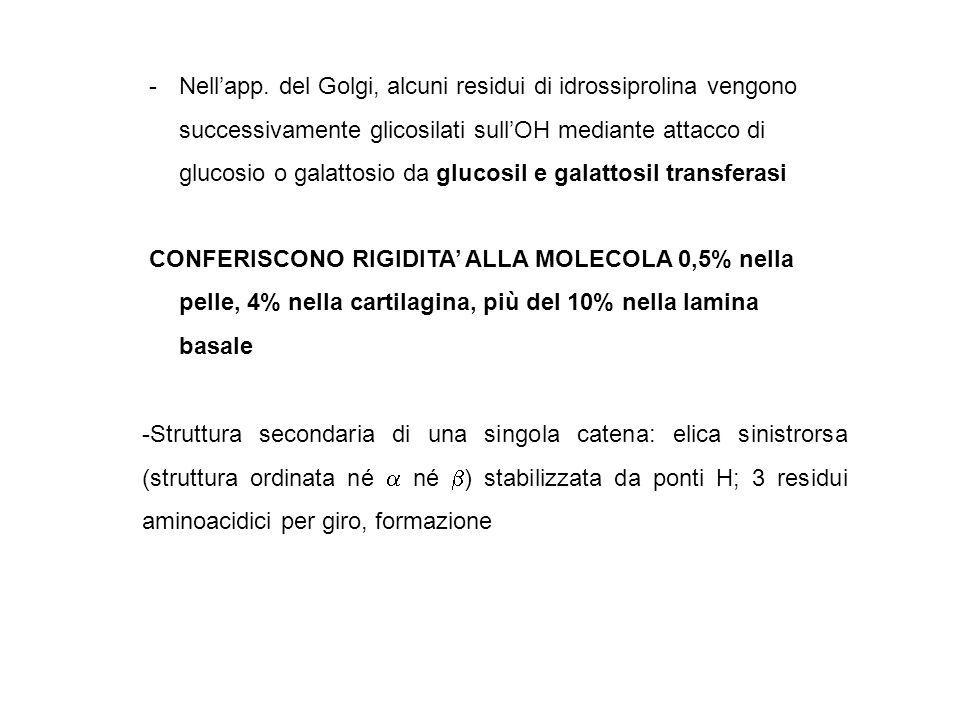 Sintesi collageno (fibrillare) Composizione aa.