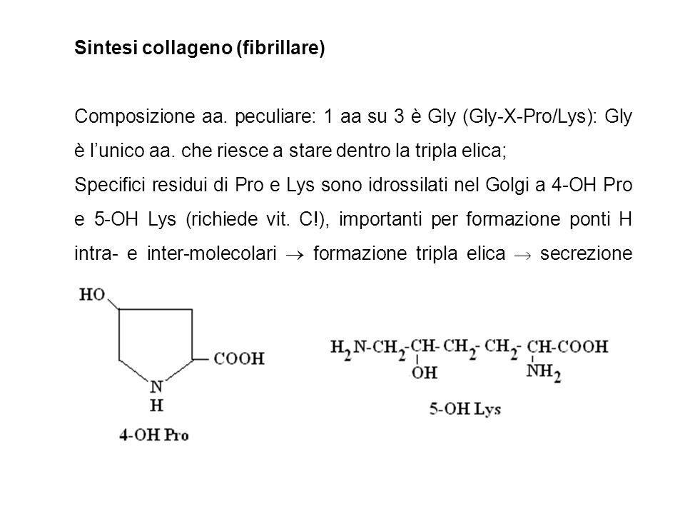 Sintesi collageno (fibrillare) Composizione aa. peculiare: 1 aa su 3 è Gly (Gly-X-Pro/Lys): Gly è l'unico aa. che riesce a stare dentro la tripla elic
