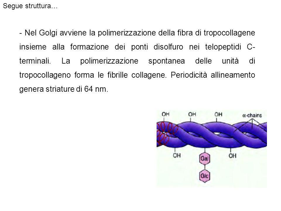 - Nel Golgi avviene la polimerizzazione della fibra di tropocollagene insieme alla formazione dei ponti disolfuro nei telopeptidi C- terminali.