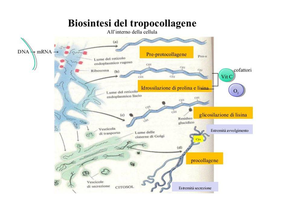 tipoGeni e formula peptidicadistribuzione I Col 1A1; Col1A2 2  1 + 1  2 Pelle, tendini, osso, tessuto cicatriziale II Col 2A1 3  1 Cartilagine articolare, vitreo III Col3A1 3  1 Tessuto di granulazione, pelle, muscolo (insieme al tipo I) IV Col4A1; Col4A2 2  1 + 1  2 Non fibrillare Membrane basali; cristallino V Col 5A1; Col5A2 2  1 + 1  2 Non fibrillare Tessuto interstiziale (insieme al tipo I) Tipi di collageno (almeno 12 tipi)