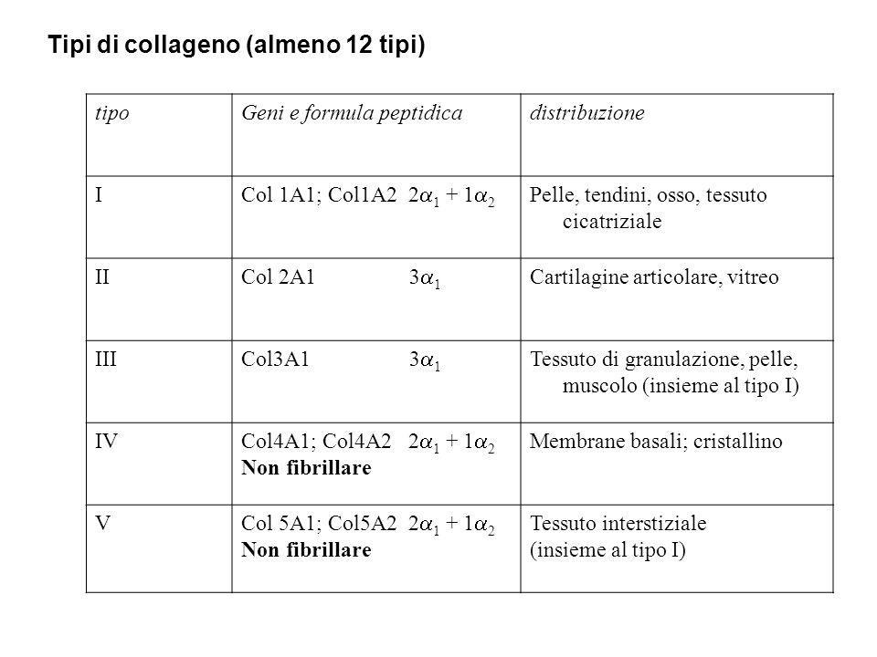 tipoGeni e formula peptidicadistribuzione I Col 1A1; Col1A2 2  1 + 1  2 Pelle, tendini, osso, tessuto cicatriziale II Col 2A1 3  1 Cartilagine arti