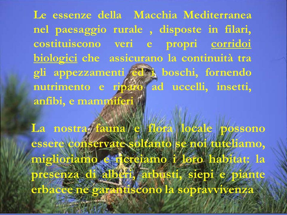 Le essenze della Macchia Mediterranea nel paesaggio rurale, disposte in filari, costituiscono veri e propri corridoi biologici che assicurano la conti