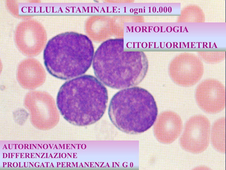 produzione midollare  800.000 neutrofili, 170.000 eosinofili e 60.000 basofili al giorno  Unico precursore staminale unipotente origina i tre tipi di granulociti