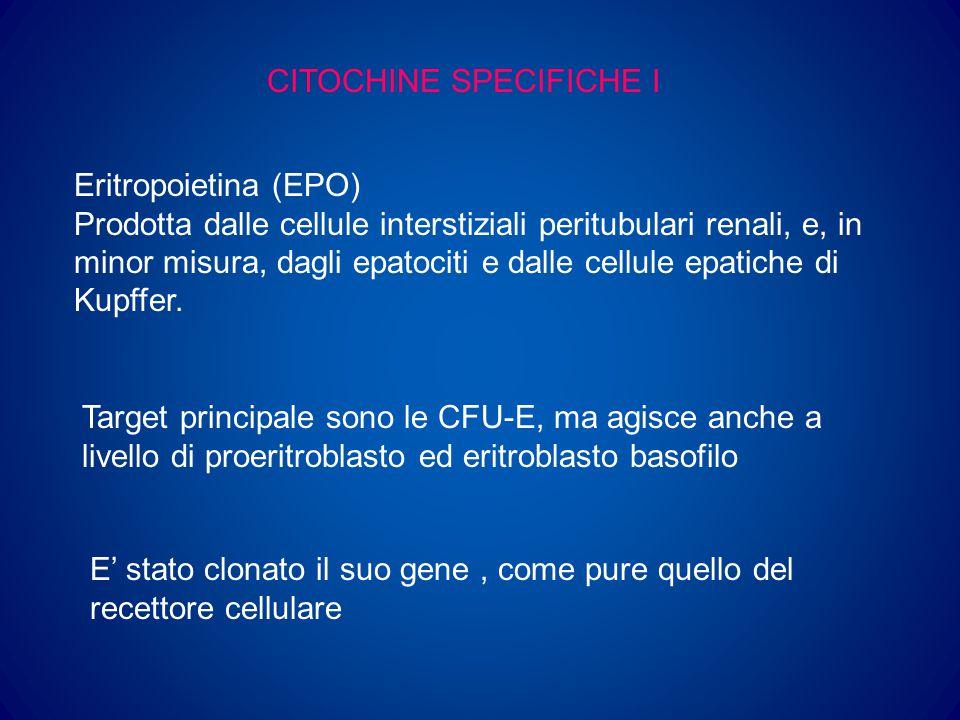 CITOCHINE SPECIFICHE II GM-CSF Fattore stimolante le colonie granulocitarie e macrofagiche Gene localizzato sul cromosoma 5 Usato in terapia, determina aumento di granulociti, monociti, eosinofili ed in minor misura, di altre cellule G-CSF Fattore stimolante le colonie granulocitarie Gene localizzato sul cromosoma 17 Usato in terapia, determina aumento notevole di neutrofili ed in minor misura di monociti