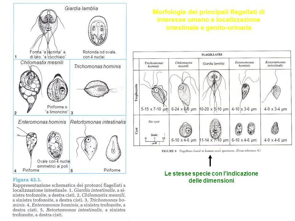 Giardia lamblia Chilomastix mesnili Trichomonas hominis Enteromonas hominisRetortomonas intestinalis Le stesse specie con l'indicazione delle dimensioni Morfologia dei principali flagellati di interesse umano a localizzazione intestinale e genito-urinaria 4-9 x 3-4 μm10-20 x 5-10 μm6-24 x 6-8 μm5-15 x 7-10 μm4-10 x 3-6 μm 6-10 x 4-6 μm11-14 x 7-10 μm6-10 x 4-6 μm4-9 x 4-6 μm Forma a lacrima e, di lato, a cucchiaio Rotonda od ovale, con 4 nuclei Piriforme Ovale con 4 nuclei simmetrici ai poli Piriforme Piriforme o a limoncino