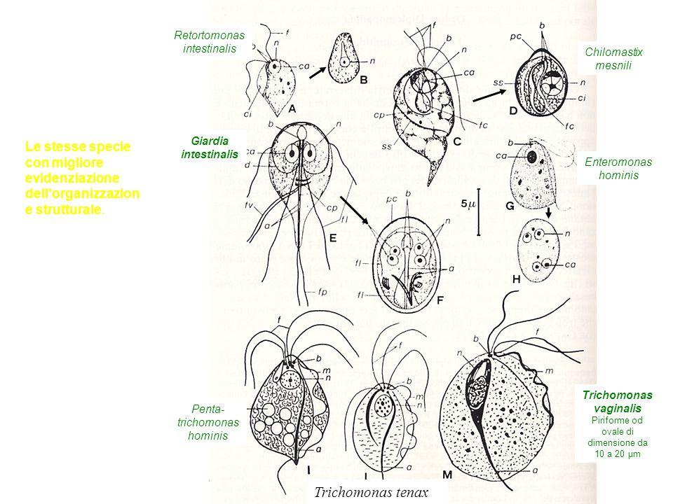 Retortomonas intestinalis Giardia intestinalis Chilomastix mesnili Enteromonas hominis Penta- trichomonas hominis Trichomonas tenax Trichomonas vaginalis Piriforme od ovale di dimensione da 10 a 20 μm Le stesse specie con migliore evidenziazione dell'organizzazion e strutturale.