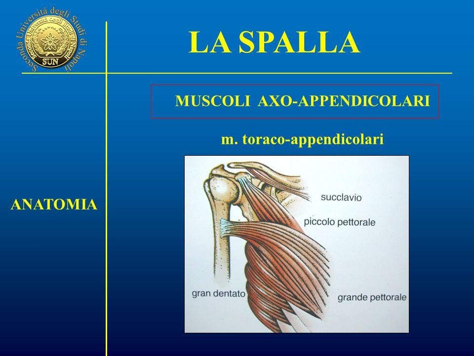 ANATOMIA MUSCOLI AXO-APPENDICOLARI m. toraco-appendicolari LA SPALLA