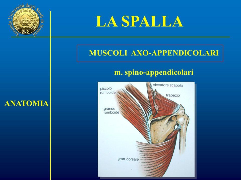 MUSCOLI AXO-APPENDICOLARI m. spino-appendicolari LA SPALLA ANATOMIA