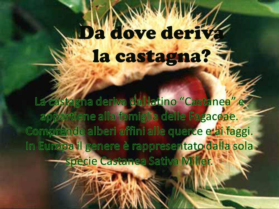 """Da dove deriva la castagna??? La castagna deriva dal latino """"Castanea """"è un genere della famiglia delle Fagaceae. Comprende alberi affini alle querce"""