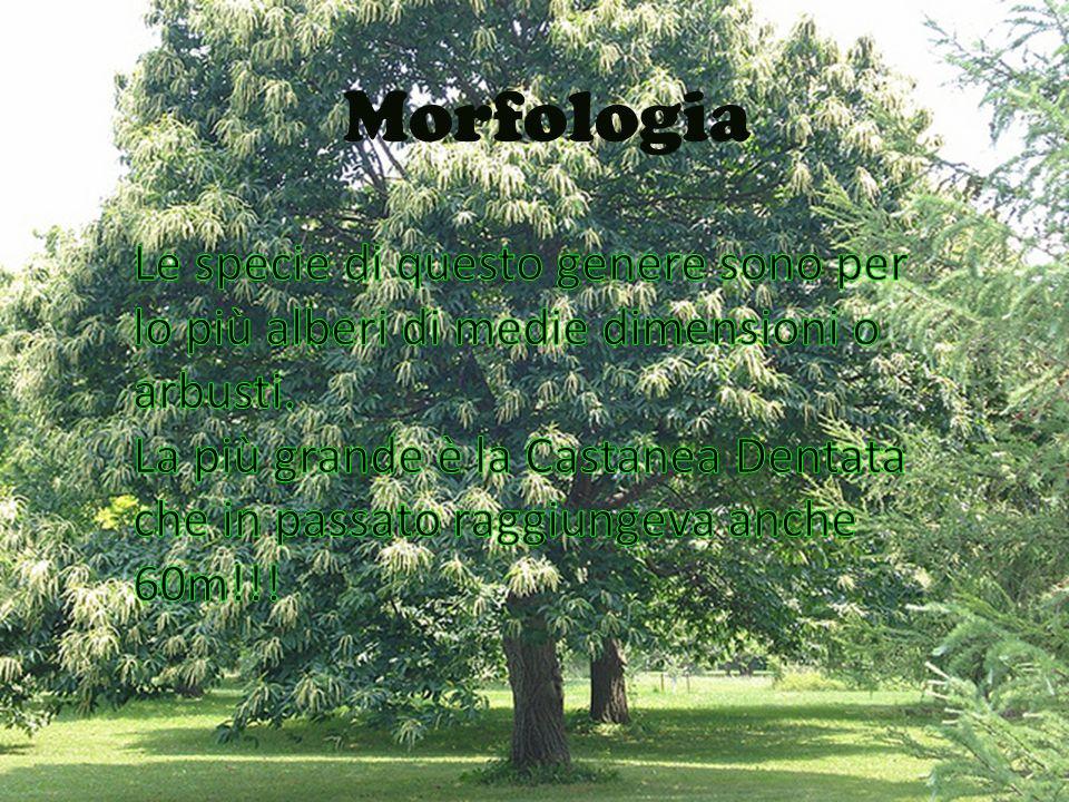Morfologia Le specie di questo genere sono per lo più alberi di medie dimensioni o arbusti. La più grande è Castanea dentata che in passato raggiungev