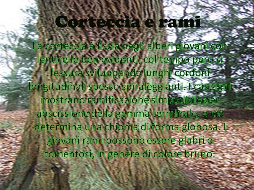CORTECCIA E RAMI La corteccia è liscia negli alberi giovani con lenticelle ben evidenti, col tempo però si fessura sviluppando lunghi cordoni longitud