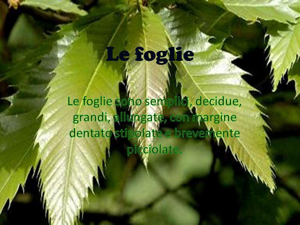Le foglie Le foglie sono semplici, decidue, grandi, allungate, con margine dentato, stipolate e brevemente picciolate. Le foglie