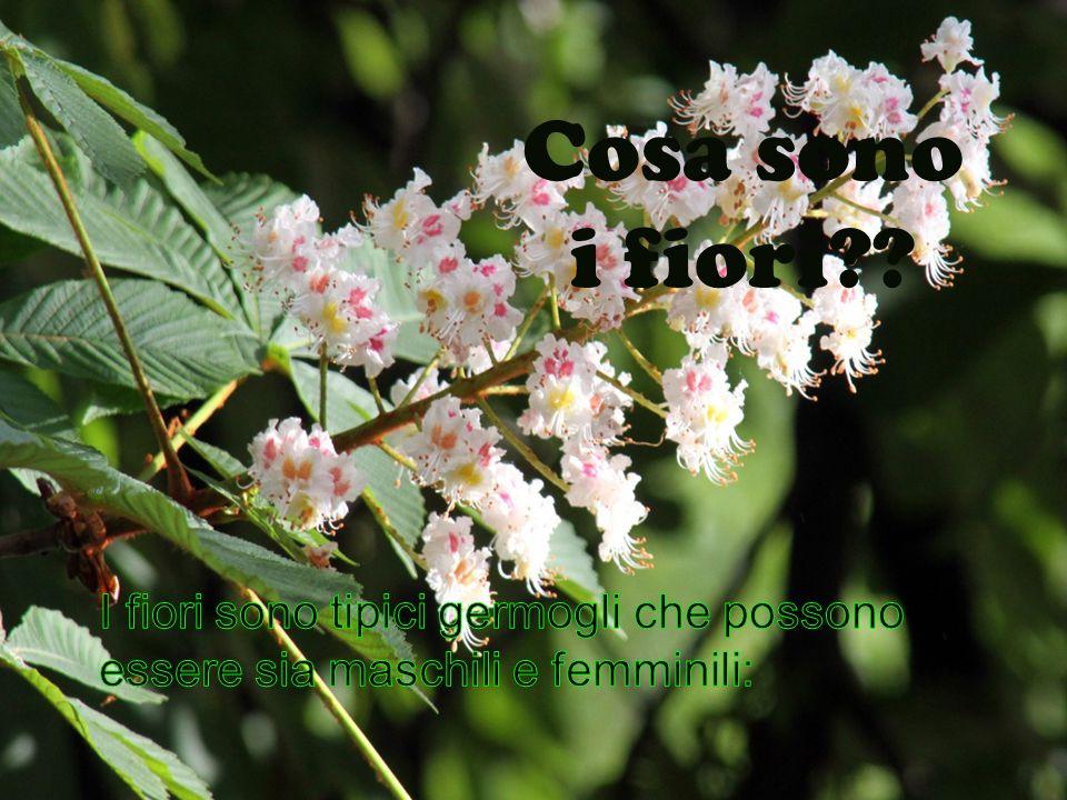 Cosa sono i fiori?? I fiori sono delle piante monoiche con fiori unisessuali maschili in amenti terminali e fiori femminili in glomeruli di norma alla