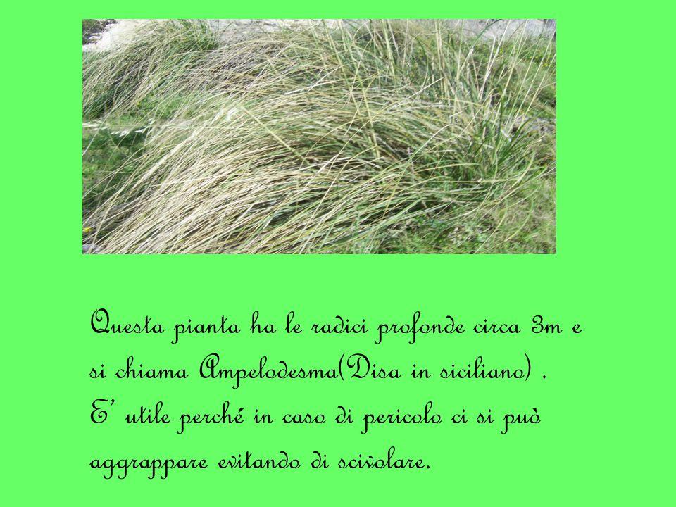Questa pianta ha le radici profonde circa 3m e si chiama Ampelodesma(Disa in siciliano).