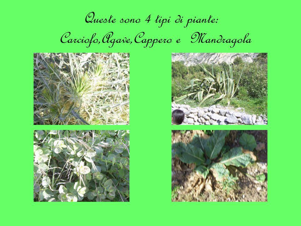 Queste sono 4 tipi di piante: Carciofo,Agave,Cappero e Mandragola