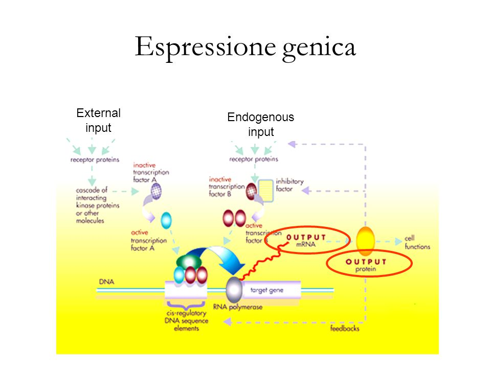 Espressione genica External input Endogenous input