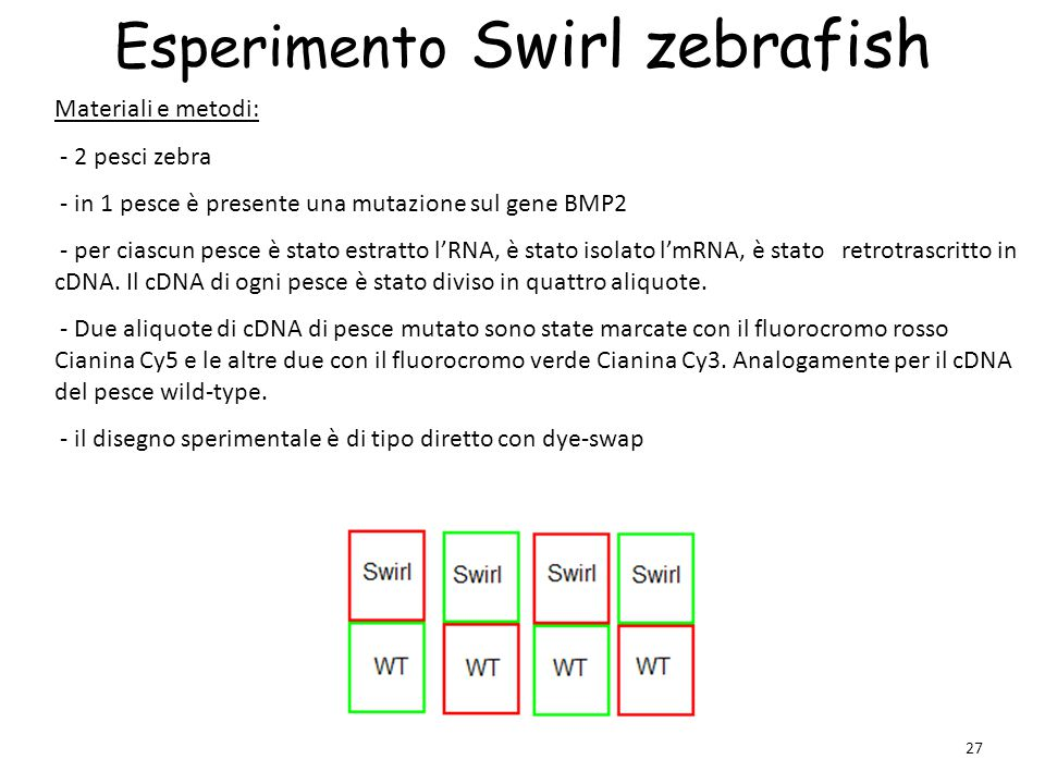 27 Esperimento Swirl zebrafish Materiali e metodi: - 2 pesci zebra - in 1 pesce è presente una mutazione sul gene BMP2 - per ciascun pesce è stato est