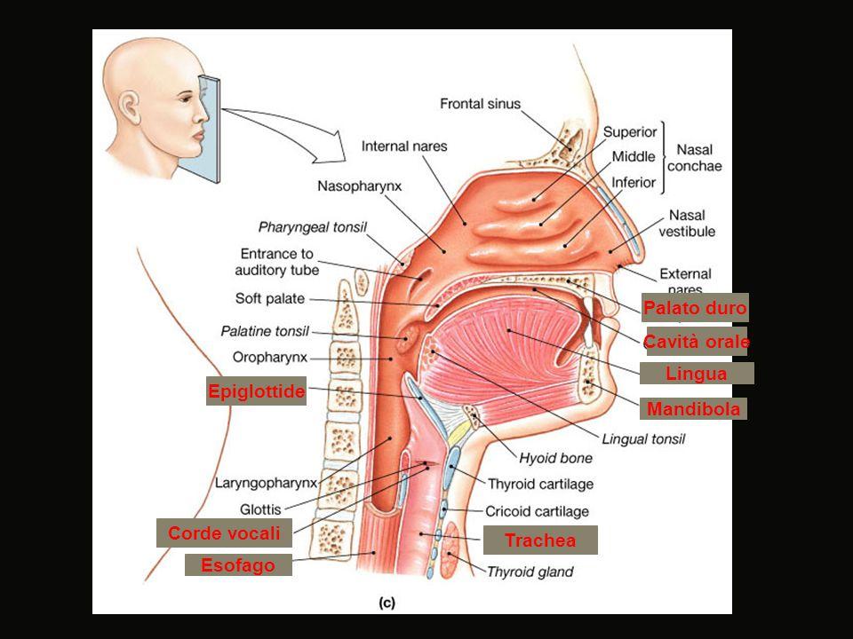 Palato duro Cavità orale Lingua Mandibola Epiglottide Trachea Esofago Corde vocali