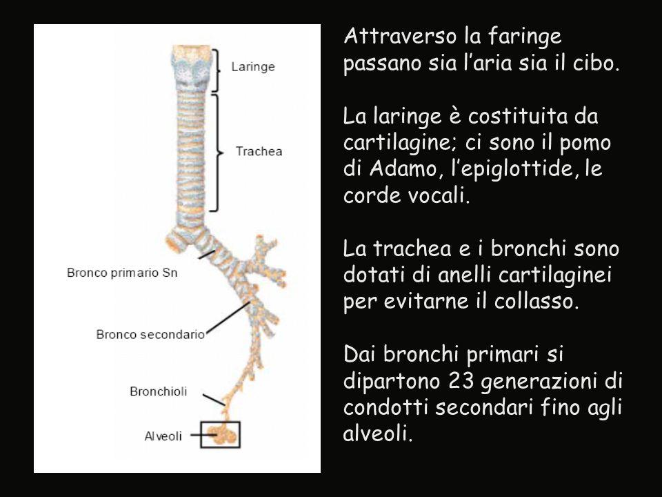 Attraverso la faringe passano sia l'aria sia il cibo. La laringe è costituita da cartilagine; ci sono il pomo di Adamo, l'epiglottide, le corde vocali