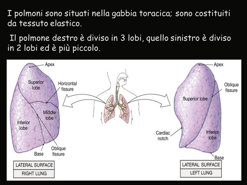 I polmoni sono situati nella gabbia toracica; sono costituiti da tessuto elastico. Il polmone destro è diviso in 3 lobi, quello sinistro è diviso in 2