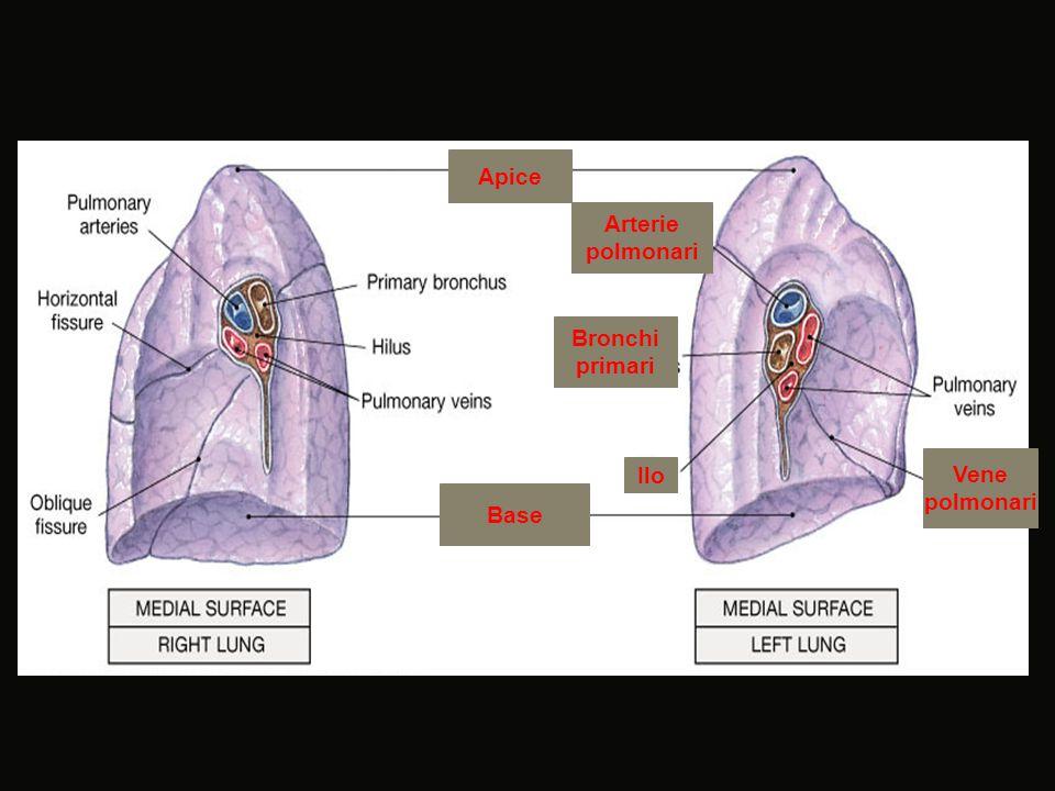 Apice Arterie polmonari Ilo Bronchi primari Vene polmonari Base