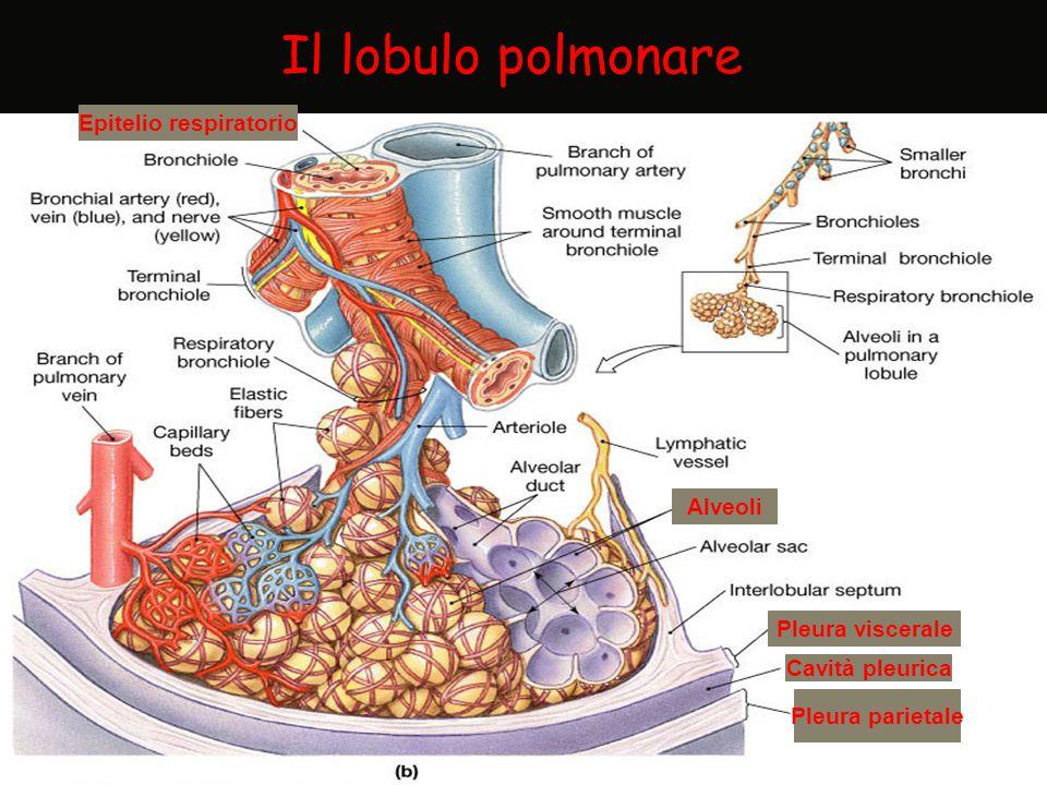 Alveoli Cavità pleurica Pleura parietale Pleura viscerale Epitelio respiratorio Il lobulo polmonare