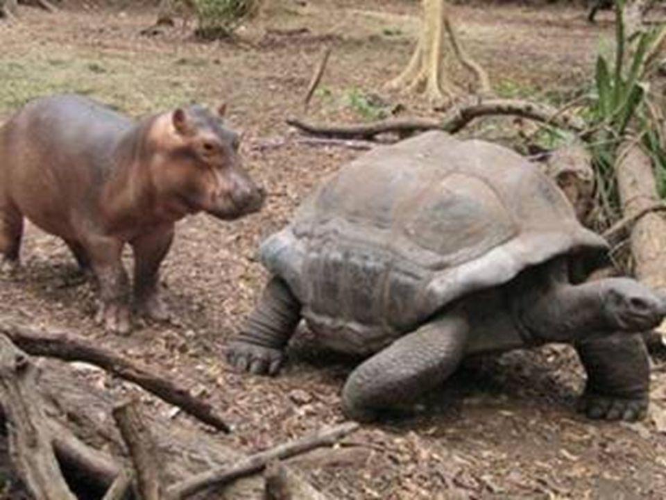 L'ippopotamo segue la tartaruga esattamente come farebbe con sua madre.