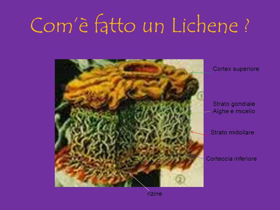 Com'è fatto un Lichene ? Cortex superiore Strato gondiale Alghe e micelio Strato midollare Corteccia inferiore rizine