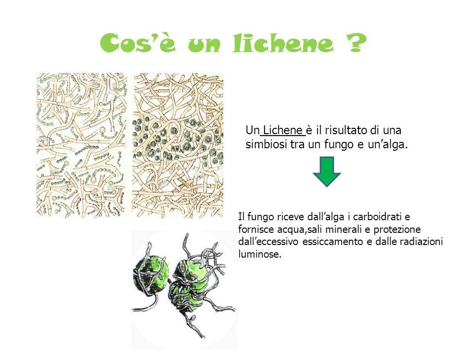 Cos'è un lichene ? Un Lichene è il risultato di una simbiosi tra un fungo e un'alga. Il fungo riceve dall'alga i carboidrati e fornisce acqua,sali min