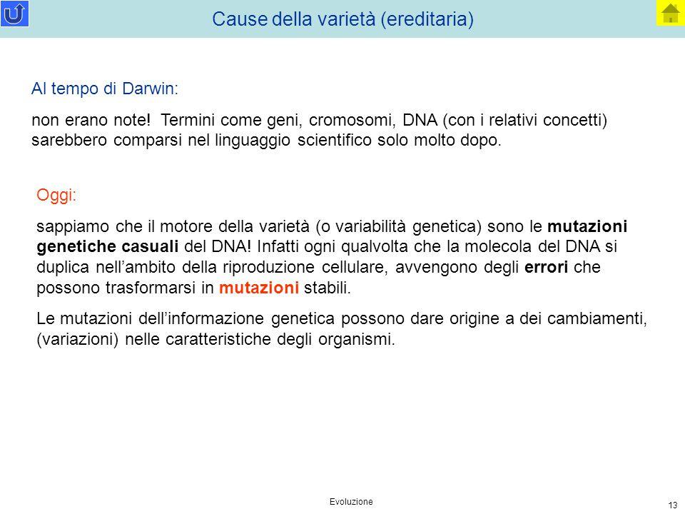 Evoluzione 13 Cause della varietà (ereditaria) Al tempo di Darwin: non erano note! Termini come geni, cromosomi, DNA (con i relativi concetti) sarebbe