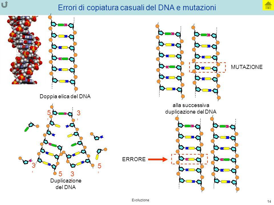 Evoluzione 14 Errori di copiatura casuali del DNA e mutazioni 5'5' 3'3' 3'3' 5'5' 3'3' 5'5' ERRORE Doppia elica del DNA Duplicazione del DNA alla succ