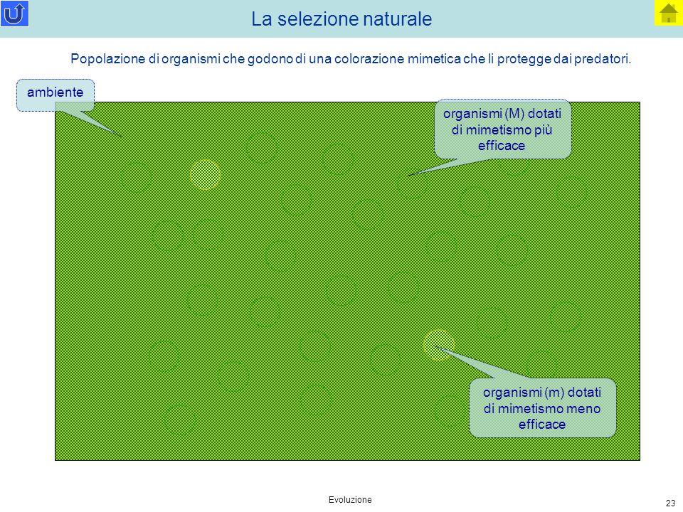 Evoluzione 23 La selezione naturale ambiente organismi (M) dotati di mimetismo più efficace organismi (m) dotati di mimetismo meno efficace Popolazion