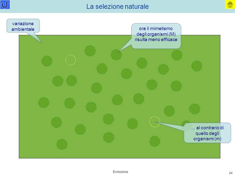 Evoluzione 24 La selezione naturale variazione ambientale ora il mimetismo degli organismi (M) risulta meno efficace... al contrario di quello degli o