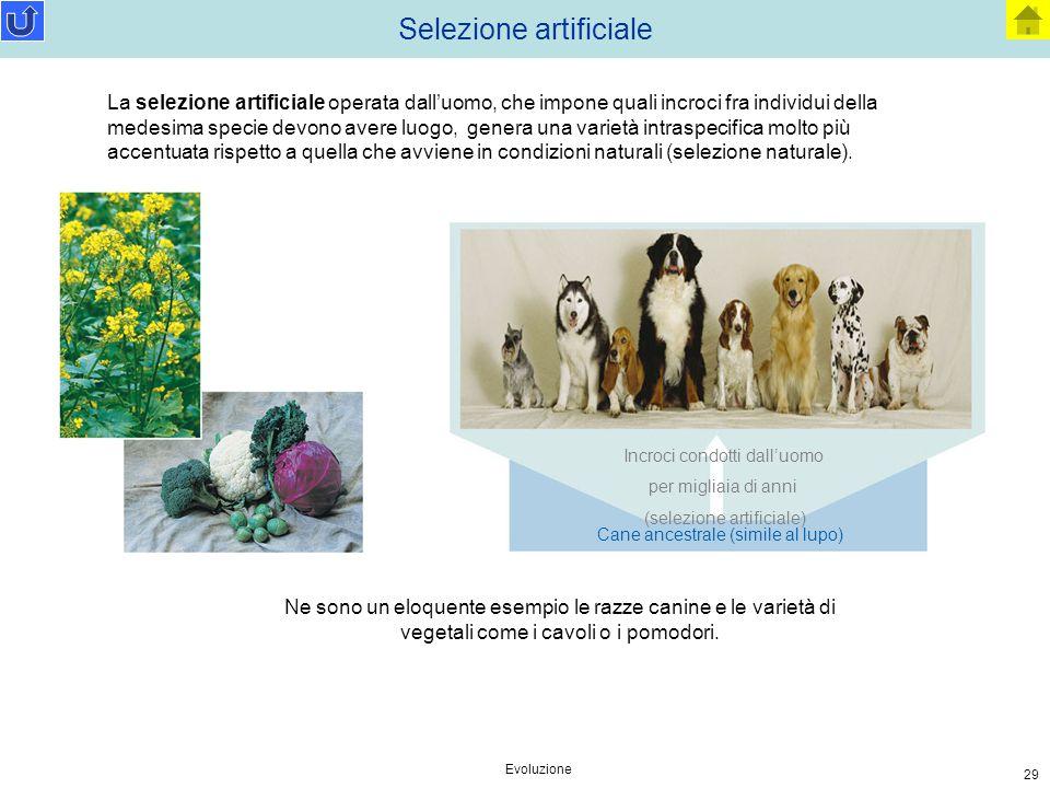 Evoluzione 29 Selezione artificiale Incroci condotti dall'uomo per migliaia di anni (selezione artificiale) Cane ancestrale (simile al lupo) La selezi