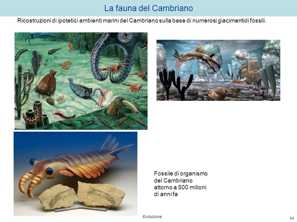 La fauna del Cambriano Evoluzione 34 Fossile di organismo del Cambriano attorno a 500 milioni di anni fa Ricostruzioni di ipotetici ambienti marini de