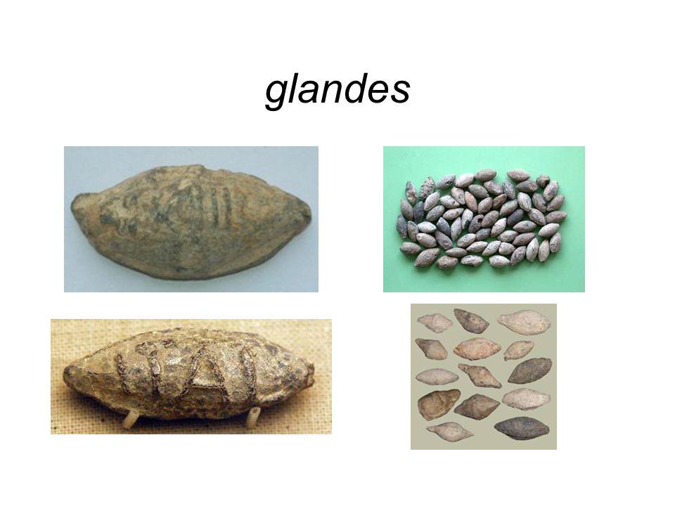glandes