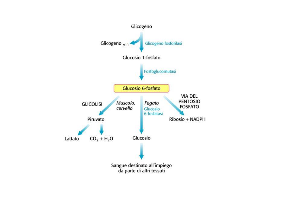 Glicogeno  Il glicogeno è il polisaccaride di riserva delle cellule animali (fegato e muscolo!)  Polisaccaridi di riserva molto diffusi nel mondo animale/vegetale: mantengono bassa osmolarità nel citosol AmilosoPolimero lineare di glucoso  (1  4) Amilopectina Polimero ramificato di glucoso  (1  4) e  (1  6) Cellulosa Polimero lineare di glucoso  (1  4) GlicogenoPolimero ramificato di glucoso: + ramif.