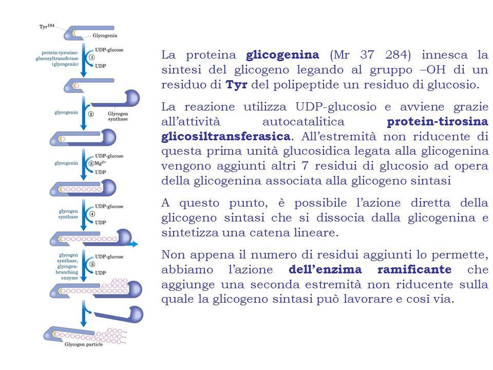 La proteina glicogenina (Mr 37 284) innesca la sintesi del glicogeno legando al gruppo –OH di un residuo di Tyr del polipeptide un residuo di glucosio